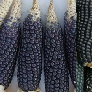 Ganamos suspensión provisional a la siembra de maíz transgénico