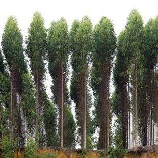 Peligros del eucalipto transgénico que invade Sudamérica