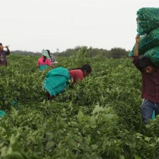 Gobierno de Guerrero omiso ante derechos laborales de jornaleros agrícolas de la Montaña