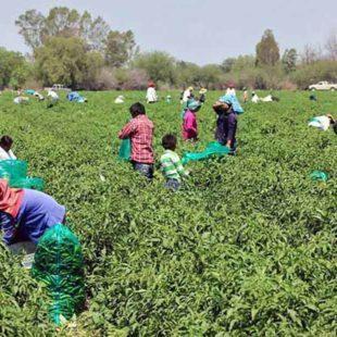 """Reportan """"desaparición"""" de 80 indígenas que denunciaron explotación laboral en Chihuahua"""